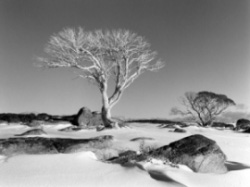 Snow Gum & Snow, Bogong High Plains